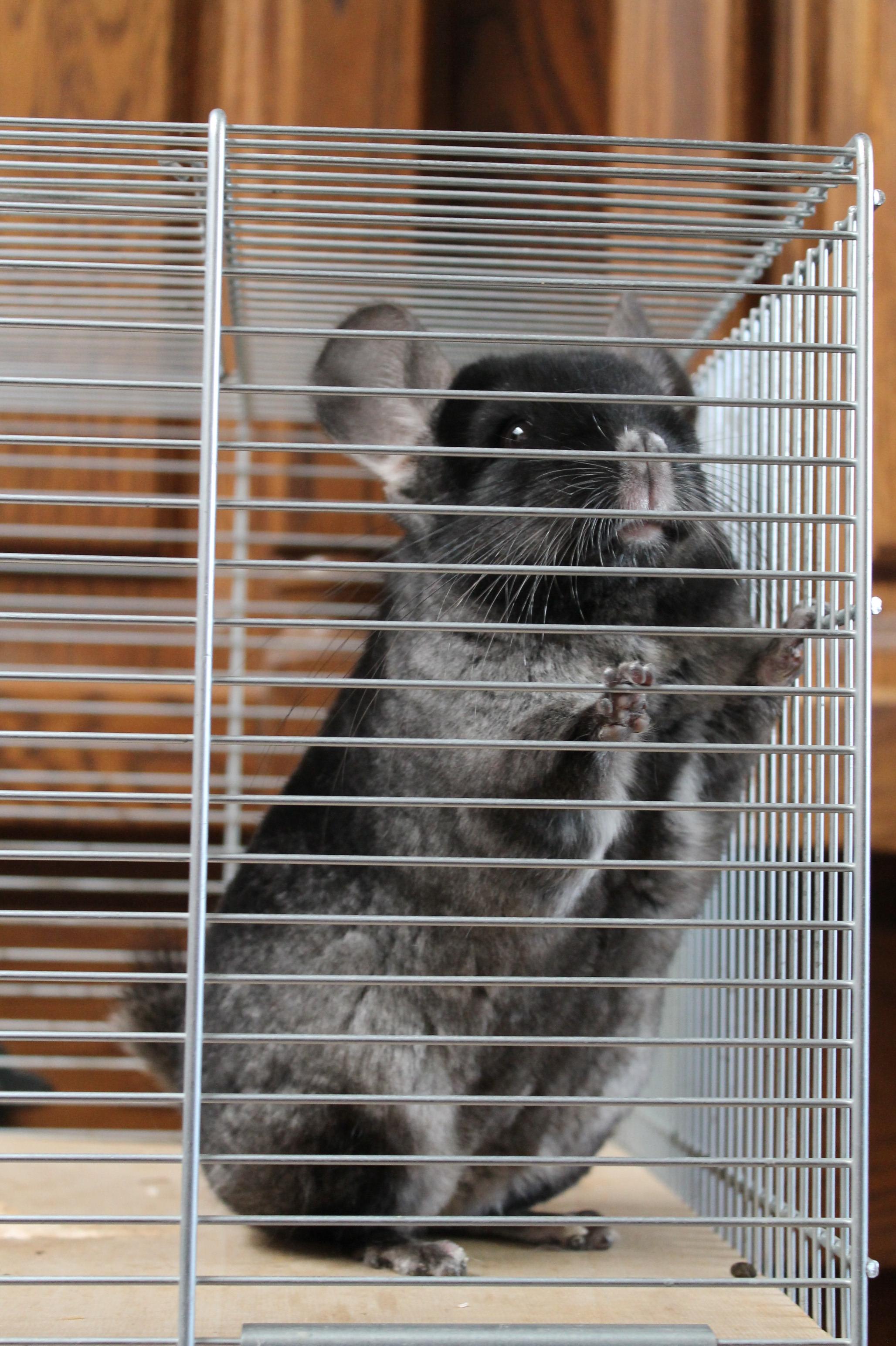 black ebony velvet (grey tummy) (2)