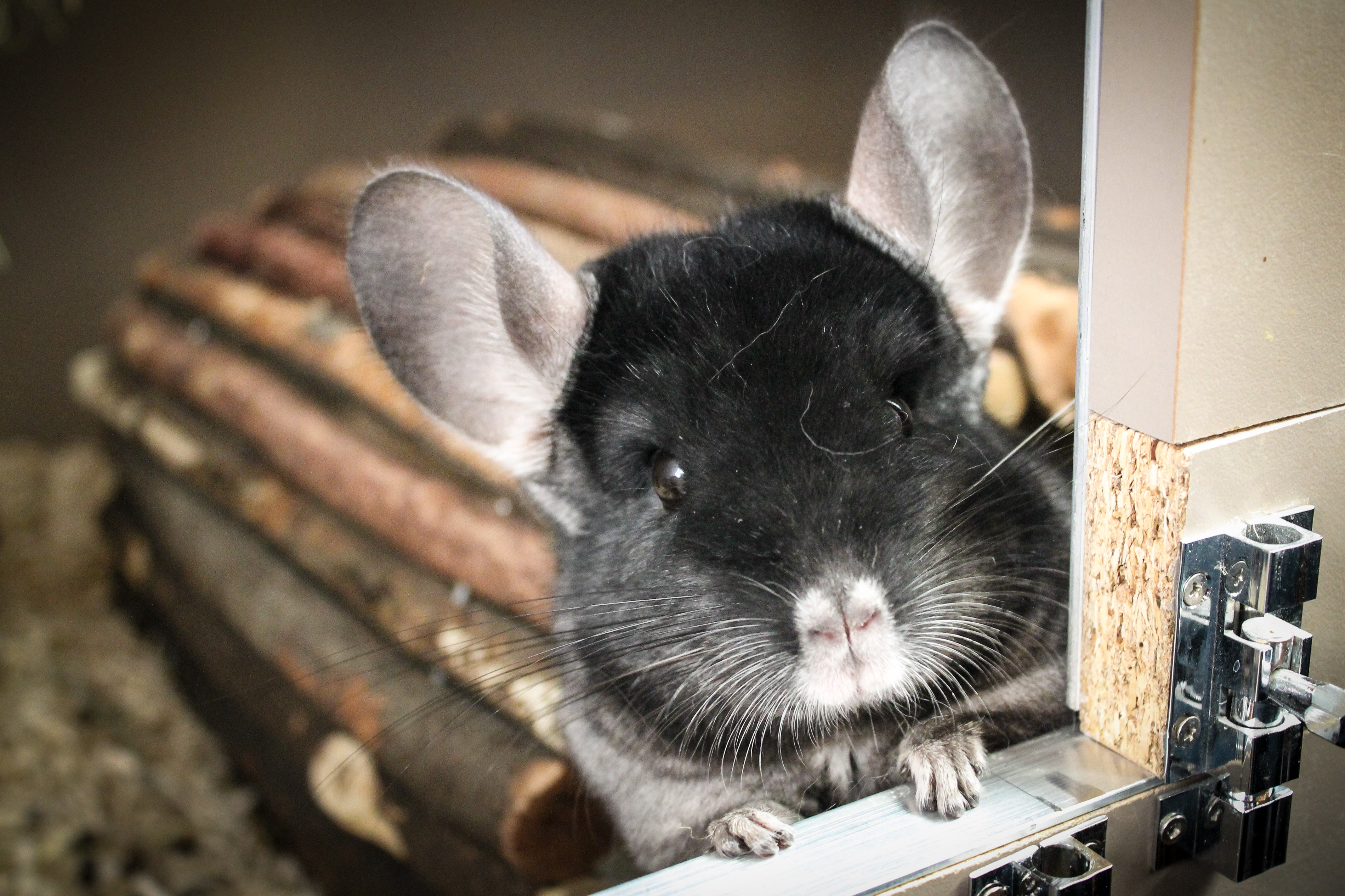 Chinchilla Colors | ChinnyWorld